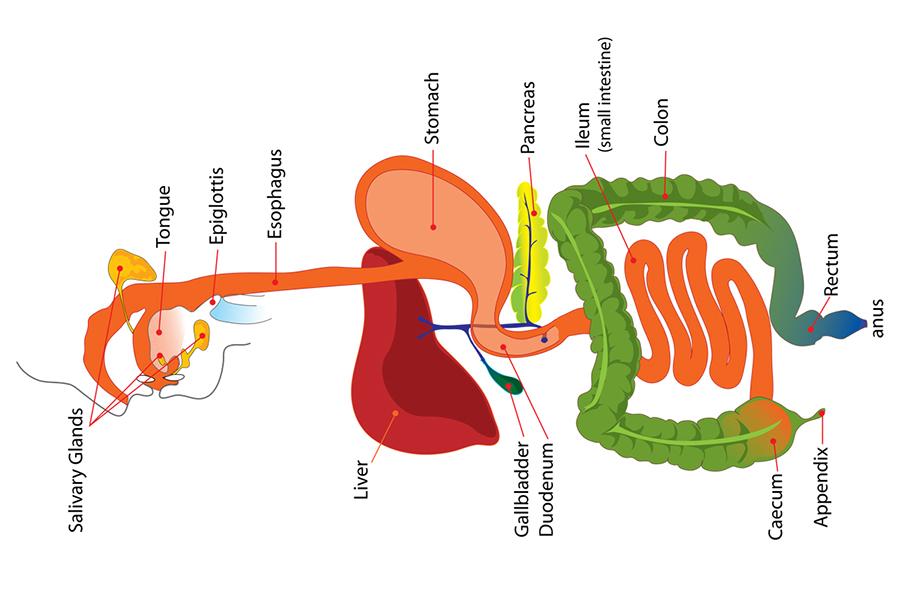 1314_M9-Djordje-Stojanovic---Digestive-system_o